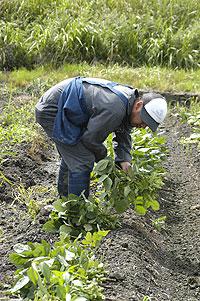枝豆収穫09.7.11