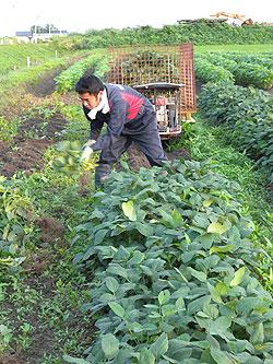 枝豆収穫.jpg