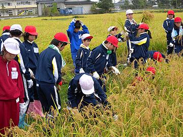 小学校稲刈り.jpg