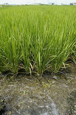 稲に水を.jpg