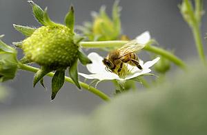 ミツバチ08.3.8.jpg
