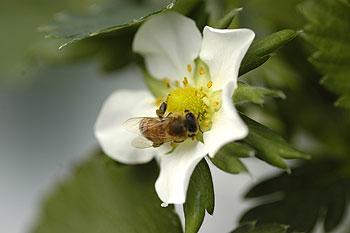 蜜蜂訪花.jpg