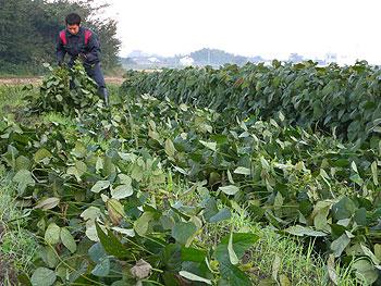 大峰かおり収穫.jpg